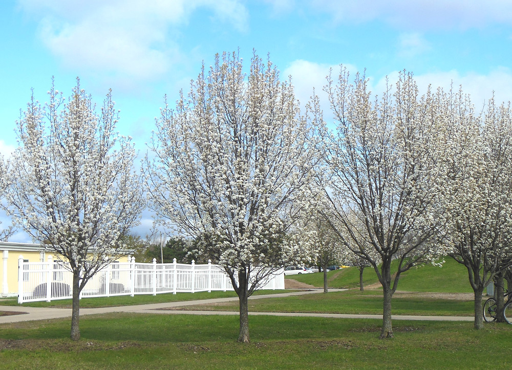Ornamental Pear Trees
