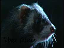 Close up of Polecat