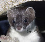 Close up of young Stoat