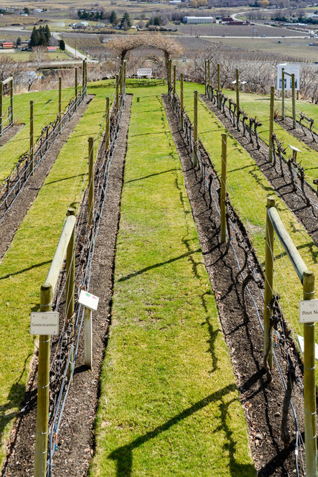 Local Vineyard