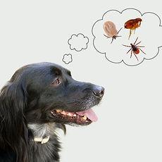 Dog considering disease risk from ticks,