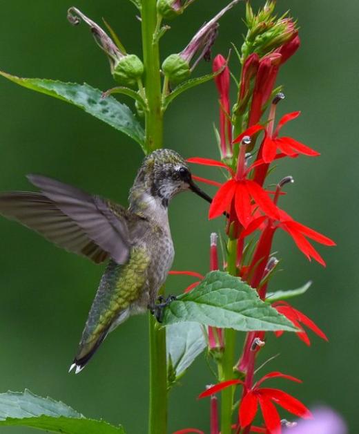 Close-up of Cardinal Flower with Hummingbird