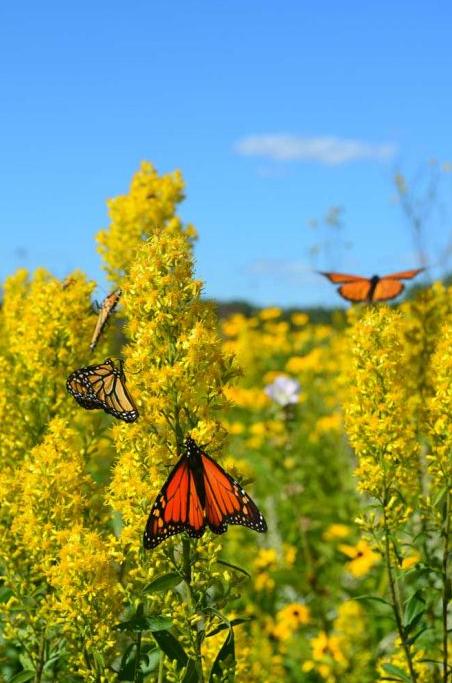 Goldenrod field with monarch butterflies