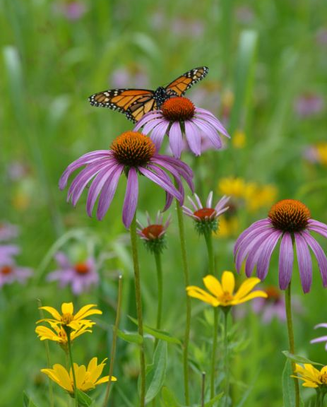 Purple Coneflowers with Monarch butterfly