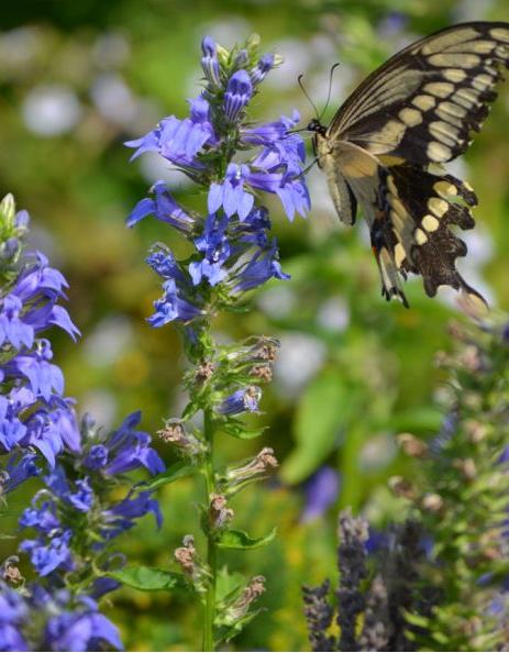 Blue Lobelia with Butterfly