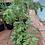 Thumbnail: Tomatoes