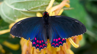Pink Spotted Cattleheart Butterfly