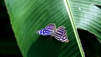 Blue Wave Butterfly