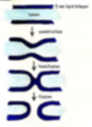 membrane fission.jpg