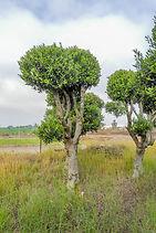 עצי זית מעוצבים