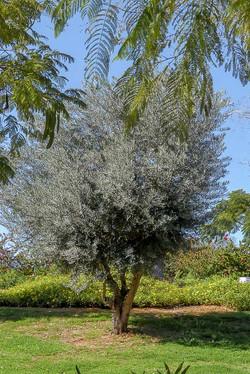 עצי זית צעירים למכירה
