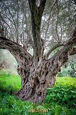 עצי זית עקירה