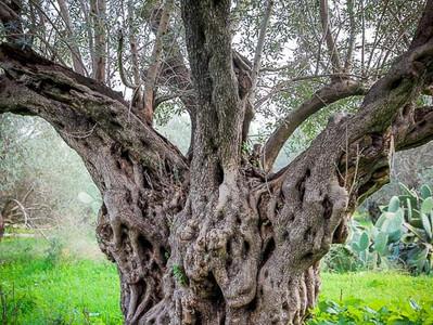 למה בעצם עוקרים עצי זית זה נשמע נורא לעקור משהו