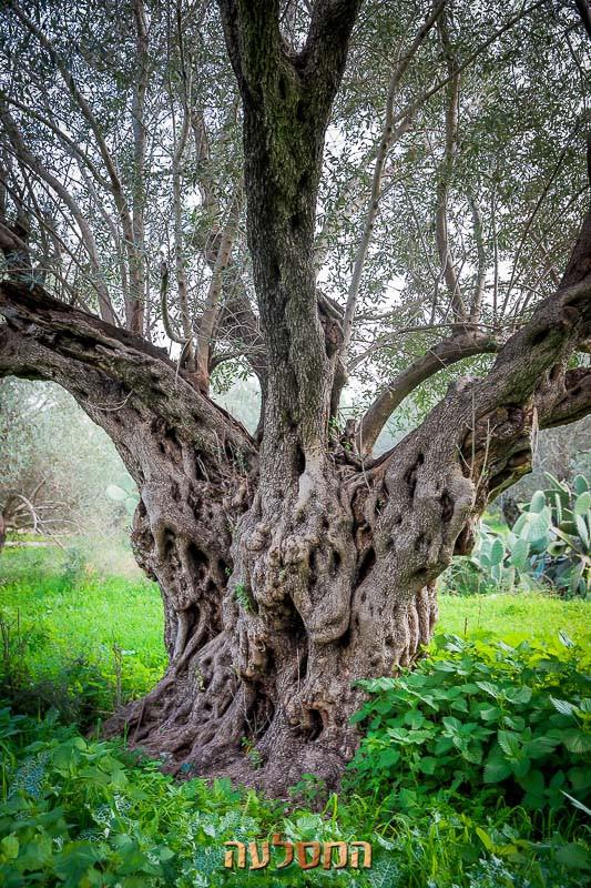 מכירת עצי זית מעקירה