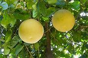 עצים אשכוליות
