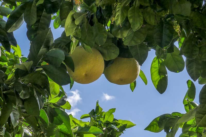 עצי פרי הדר- אשכולית לבנה