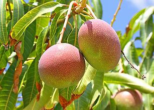 עץ מנגו טומי