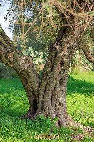 עץ זית נבאלי עתיק
