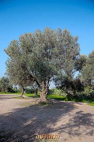 עצי זית מזן נבלי חיים ללא השקיה