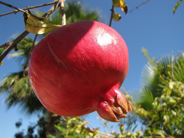 עצי פרי- רימון ישראלי