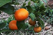 פרי הדר קלמנטינה מירב