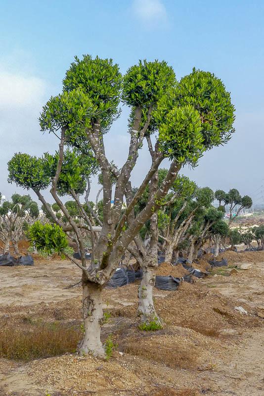 למכירה עץ זית מעוצב פונפון במחיר משוגע