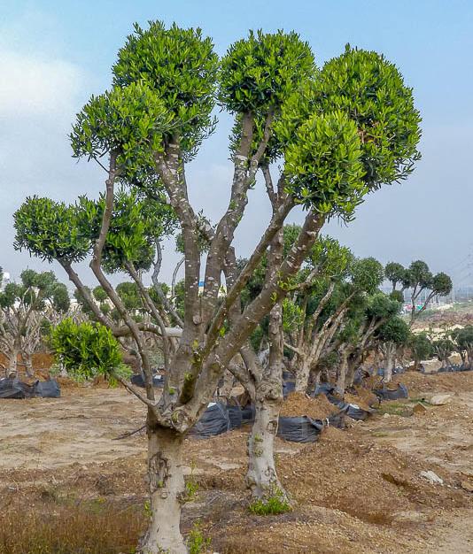 עצי זית פומפון