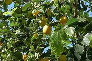 עצים הדר לימון יוריקה
