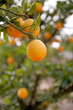 עצי פרי תפוז