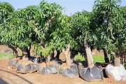 עצים מנגו