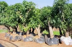עצי מנגו בוגרים