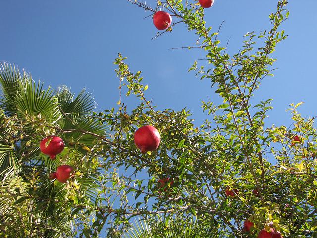 עץ רימון לגינה