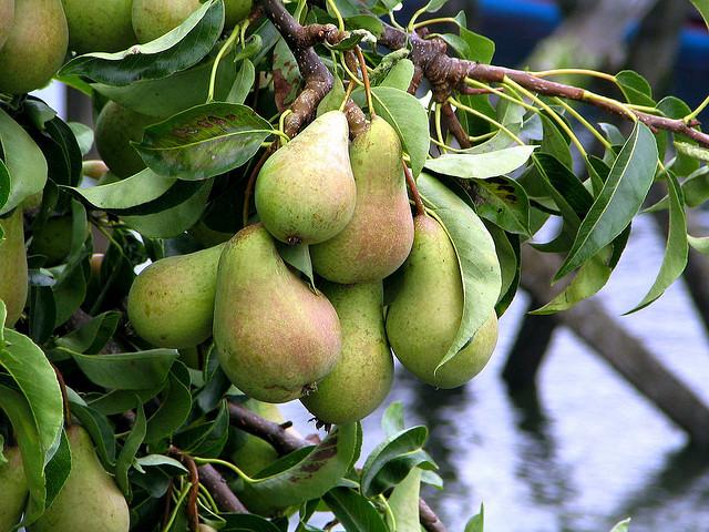 עצי פרי אגס לגינה