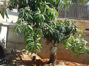 עצי מנגו