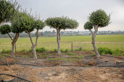 למכירה עצי זית מעוצבים במבצע