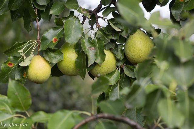 עצי אגס