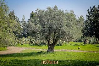 עץ זית  בוגר לגינה למכירה