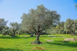 עצי זית מעקירה