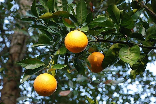 עצי לימון יוריקה
