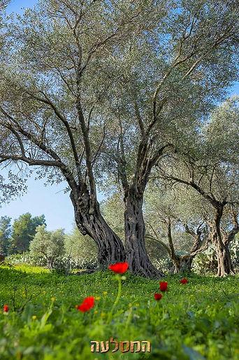 עצים של זית