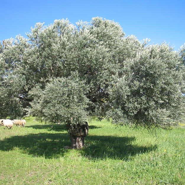 עצי זית צעירים