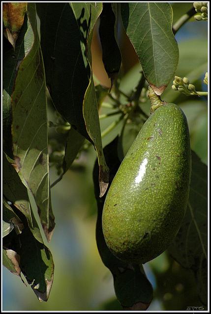 עצי אבוקדו צעירים