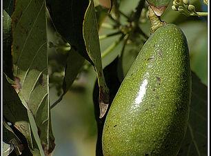 אבוקדו