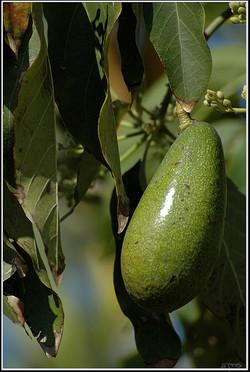 עצי פרי אבוקדו צעירים