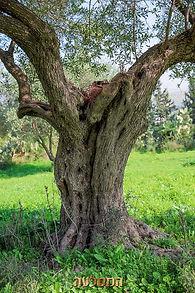 עצי עתיקים בתל חדיד