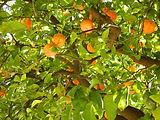 עץ תפוז סיני הדרים