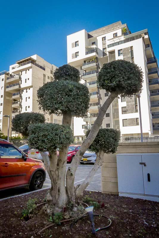 עץ זית מעוצב לגינות משותפות
