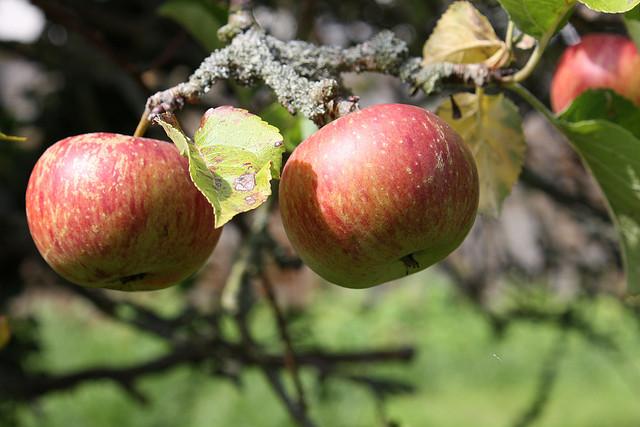 עצים פרי
