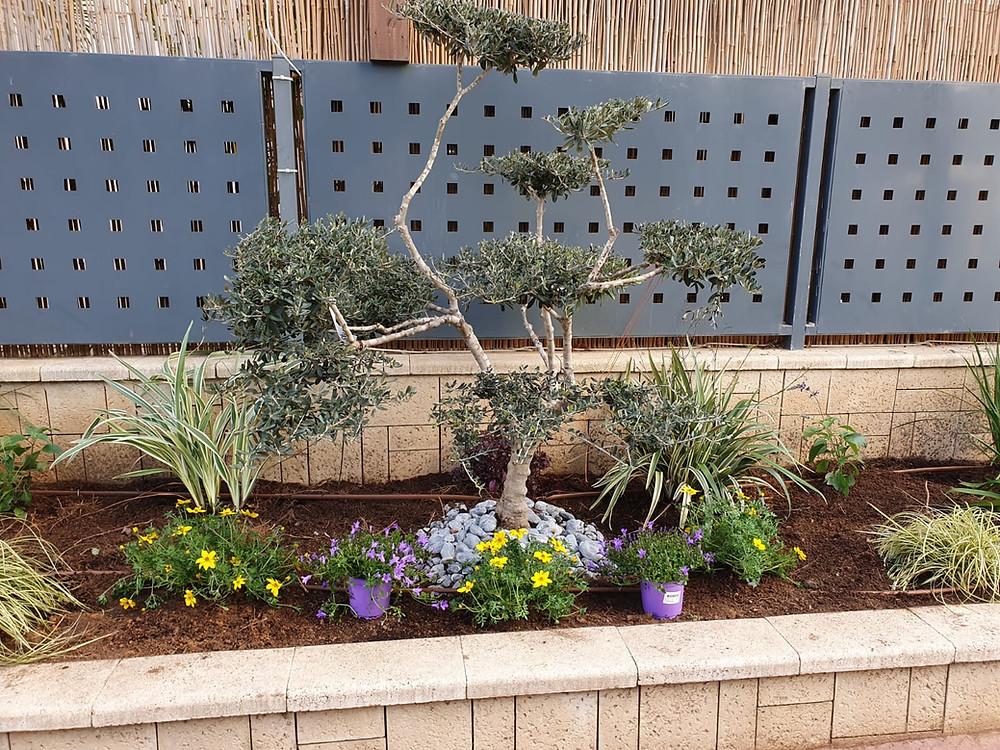 עצי זית מעוצבים לגינה