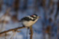 Downy Woodpecker – Morton Arboretum (Photography by Kristine N. Hlava)